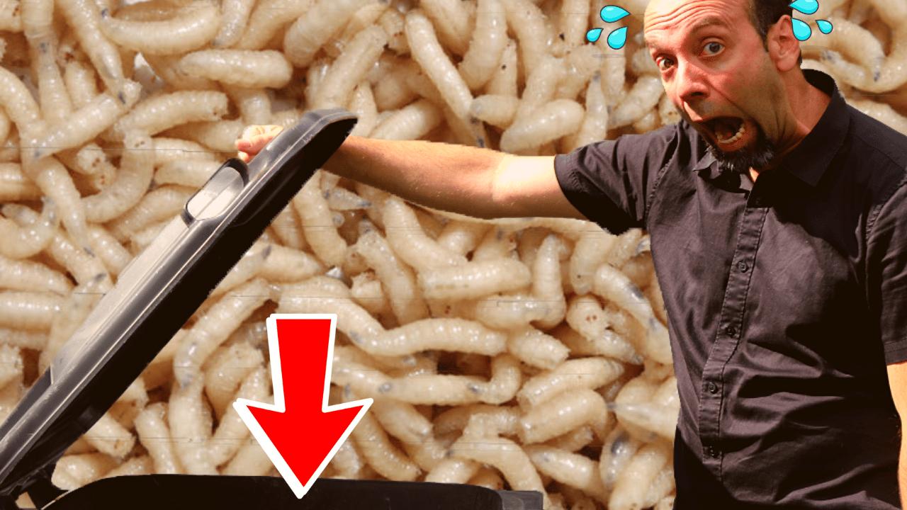 Comment se forment les asticots ?