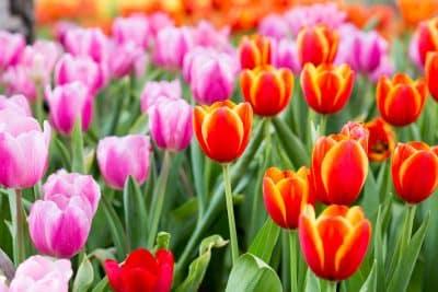Comment conserver les bulbes d'iris ?
